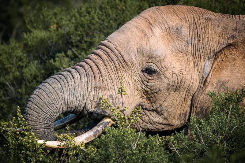 African elephant eating in bushes close up view in Addo National Park royalty free stock photography