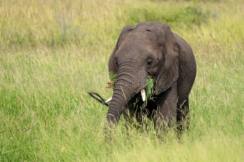 African elephant eating grass in the bush at Kruger National Park, South Africa.e. African elephant in the bush at Kruger National Park, Mpumalanga, South Africa royalty free stock images
