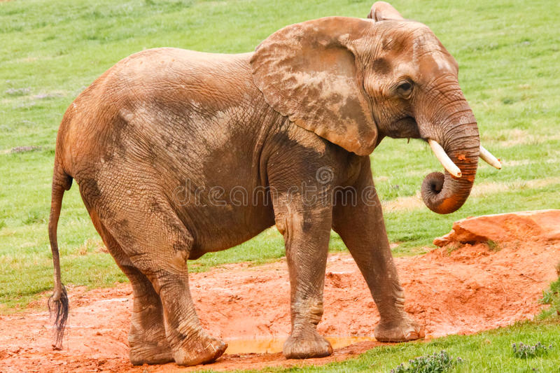 Download African Elephant Eating Mud Stock Photo - Image: 20852372