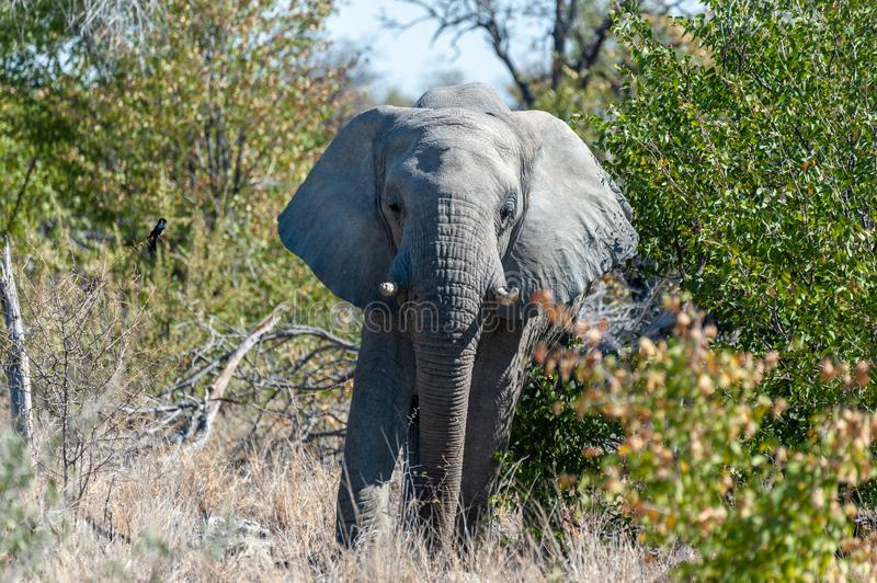 An African Elephant Emerging from the Bushes. Close up of an African Elephant -Loxodonta Africana- browsing in the green bushes of Etosha national Park, Namibia stock photos
