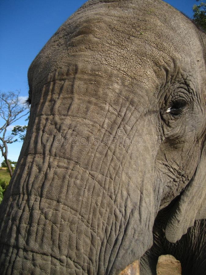 African Elephant face trunk very close up stock photography