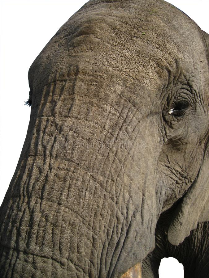 African Elephant face trunk very close up Isolated on White stock photo