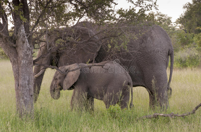 Download African Elephant Family In South Africa Stock Image - Image: 29336859