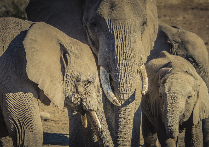 African Elephant Family Stands Together at a Water Hole. In Botswana stock photography