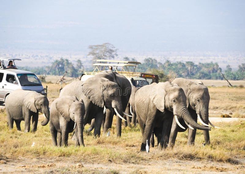 African elephant family in the wild royalty free stock image