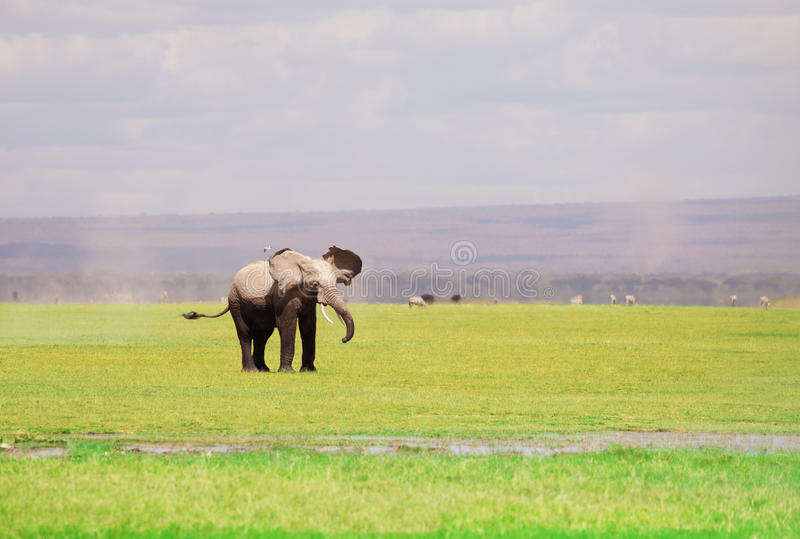 African elephant with flapping ears in savannah. A large African elephant with flapping ears in Kenyan savannah, Maasai Mara National Reserve stock photography