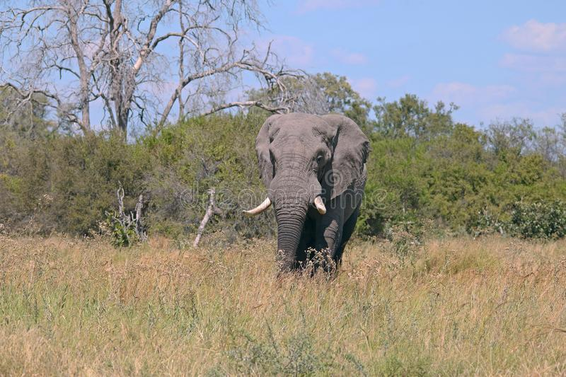 AFRICAN ELEPHANT WITH GREEN BRUSH AND DEAD TREE IN THE BACKGROUND IN AN AFRICAN LANDSCAPE stock image