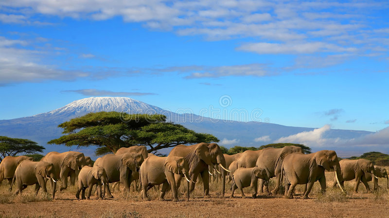 African Elephant Herd Kilimanjaro Mountain Tanzania. Herd of african elephants whilst on a safari trip to Kenya and a snow capped Kilimanjaro mountain in