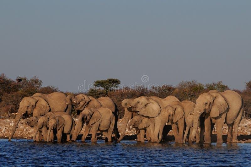 African elephant herd drinking on a waterhole, etosha nationalpark, namibia. Loxodonta africana royalty free stock photos