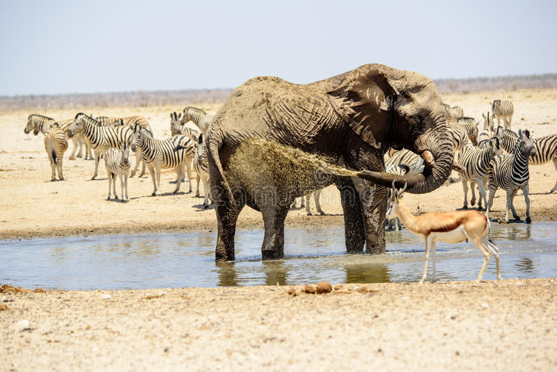 African elephant hosing itself down royalty free stock photos