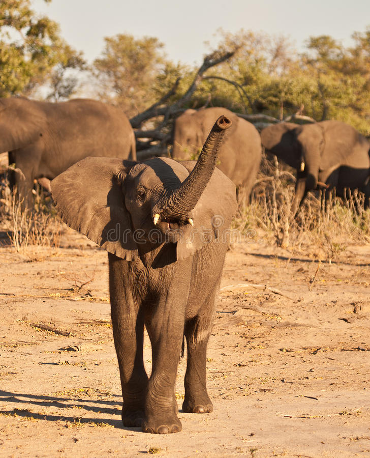 Free African Elephant Juvinile Charge Stock Images - 27320224