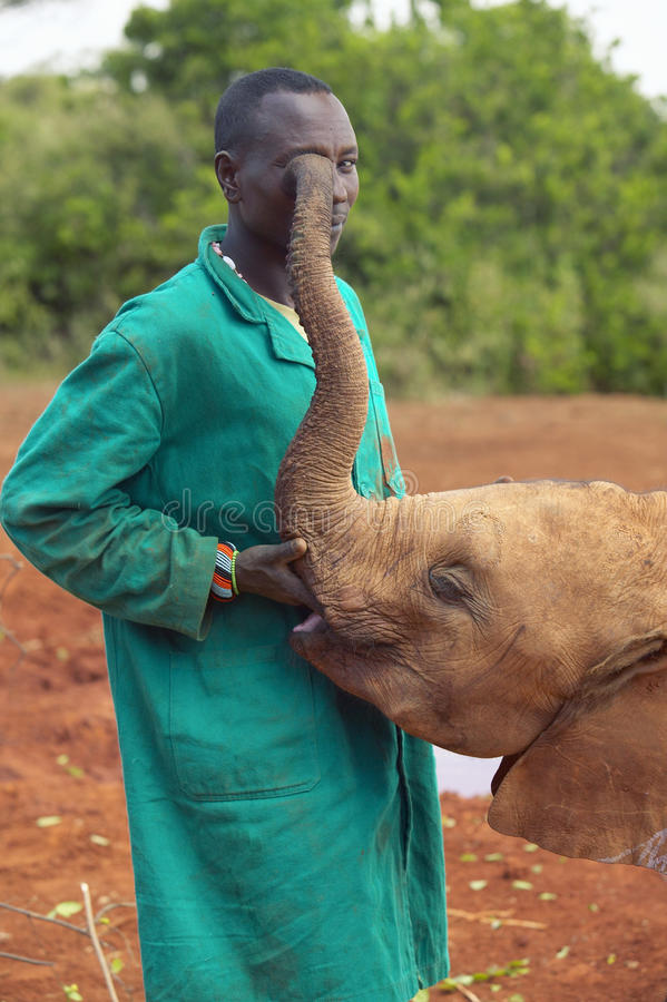 African Elephant keeper with Adopted Baby African Elephant at the David Sheldrick Wildlife Trust in Nairobi, Kenya royalty free stock image