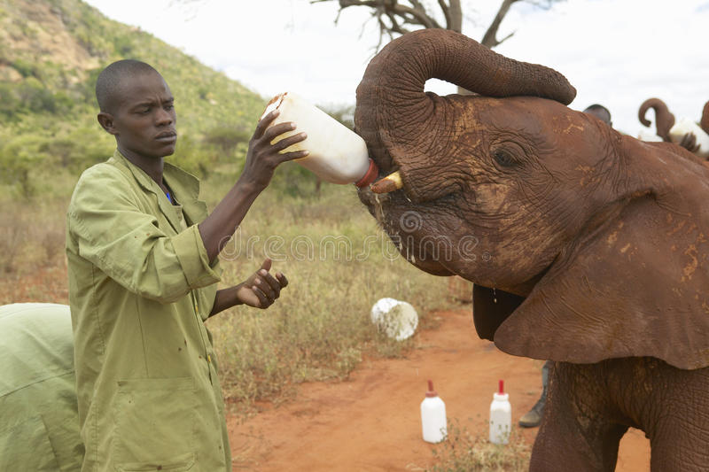 African Elephant keeper feeding milk to Adopted Baby African Elephants at the David Sheldrick Wildlife Trust in Tsavo national Par. K, Kenya royalty free stock photo