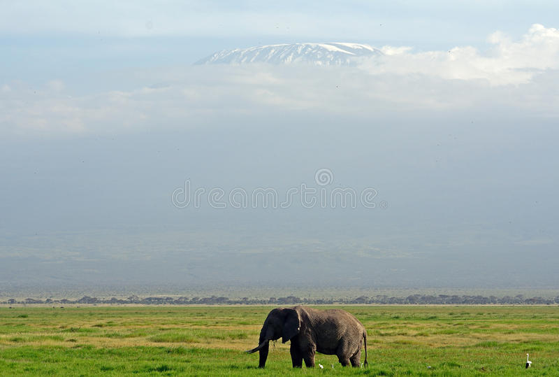 African elephant and the Kilimanjaro, Amboseli National Park, K. African elephant and the Kilimanjaro at Amboseli National Park, Kenya stock photography