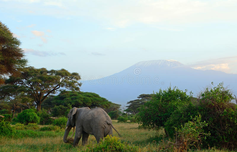 African elephant and the Kilimanjaro, Amboseli National Park, K. African elephant and the Kilimanjaro in Amboseli National Park, Kenya stock photos
