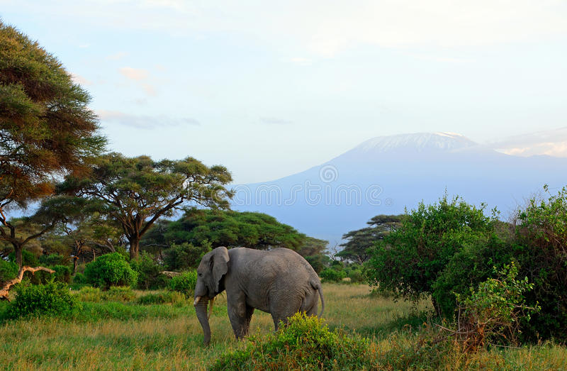 African elephant and the Kilimanjaro, Amboseli National Park, K. African elephant and the Kilimanjaro in Amboseli National Park, Kenya royalty free stock image