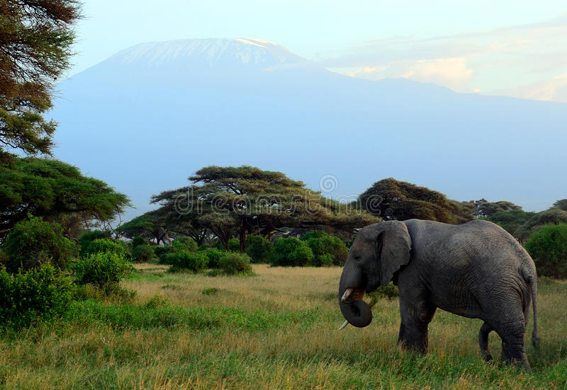 African elephant and the Kilimanjaro, Amboseli National Park, K. African elephant and the Kilimanjaro in Amboseli National Park, Kenya stock photo