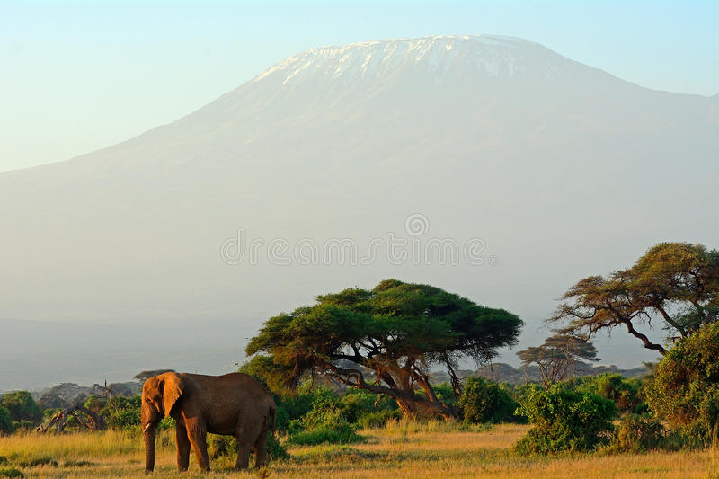 African elephant and the Kilimanjaro, Amboseli National Park, Ke. African elephant and the Kilimanjaro in Amboseli National Park, Kenya royalty free stock images