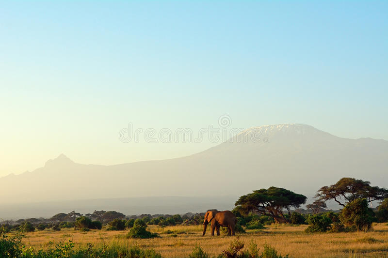 African elephant and the Kilimanjaro, Amboseli National Park, Ke. African elephant and the Kilimanjaro in Amboseli National Park, Kenya stock photos