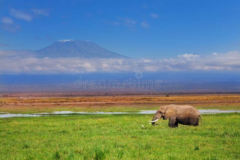 African elephant with Kilimanjaro in background. Magnificent tusker bull of African elephant with Kilimanjaro on background, Kenya stock image