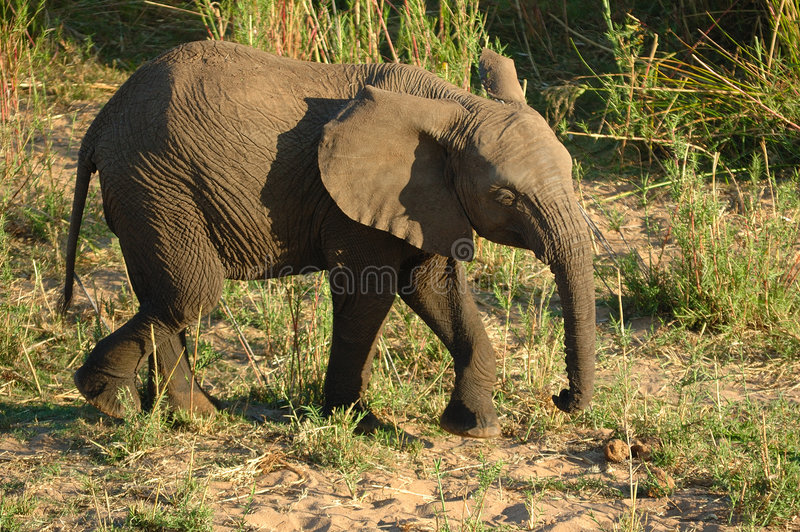 Download African Elephant (Loxodonta) Stock Photo - Image: 7663196