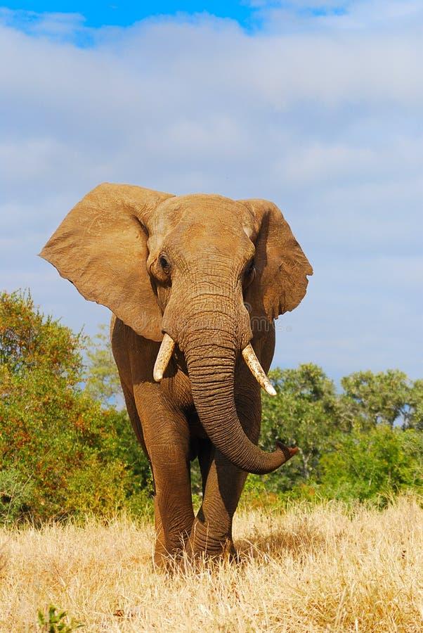 Download African Elephant (Loxodonta Africana) Stock Images - Image: 12731484