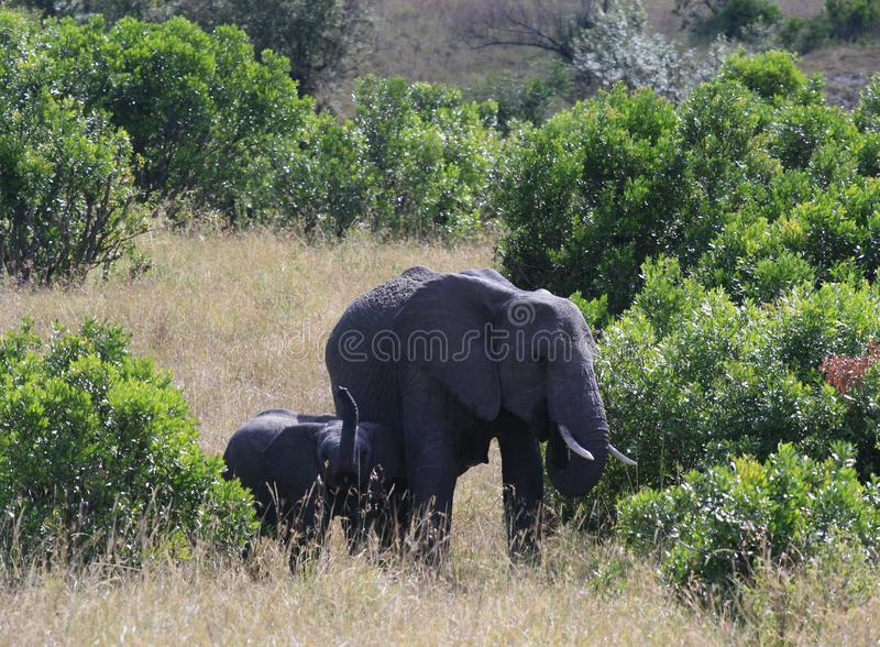African elephant, Loxodonta africana, cow with young calf, Massai Mara Park, Kenya, Africa. African elephant, Loxodonta africana, cow with young calf, Massai royalty free stock photos