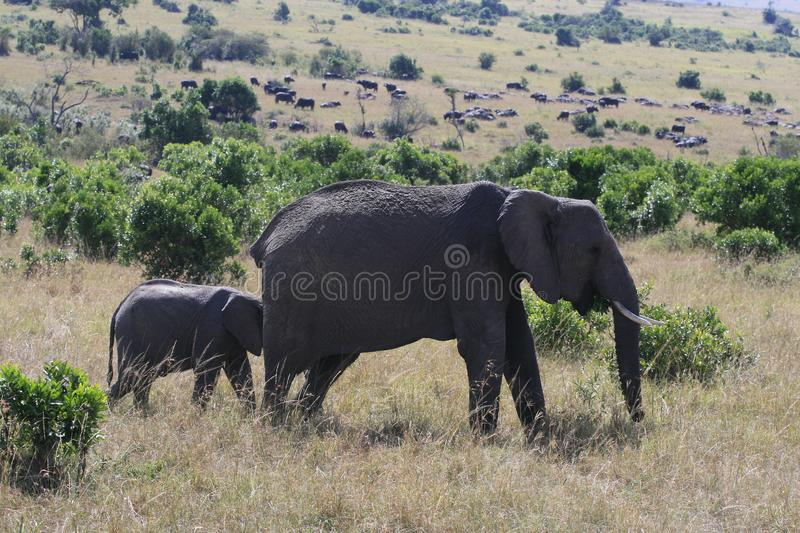 African elephant, Loxodonta africana, cow with young calf, Massai Mara Park, Kenya, Africa. African elephant, Loxodonta africana, cow with young calf, Massai stock photo