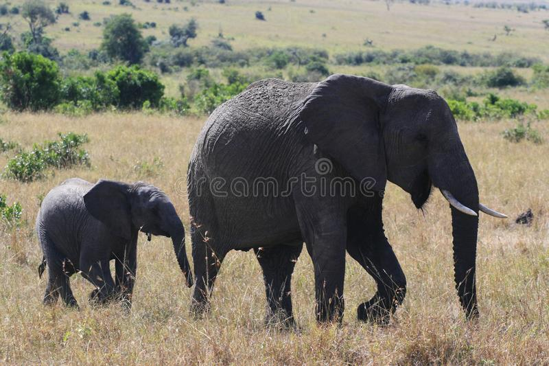 African elephant, Loxodonta africana, cow with young calf, Massai Mara Park, Kenya, Africa. African elephant, Loxodonta africana, cow with young calf, Massai stock image