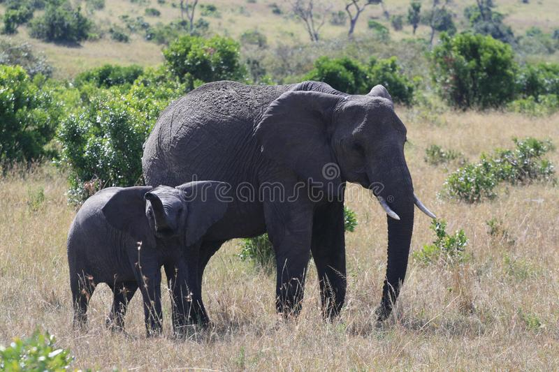 African elephant, Loxodonta africana, cow with young calf, Massai Mara Park, Kenya, Africa. African elephant, Loxodonta africana, cow with young calf, Massai stock photography
