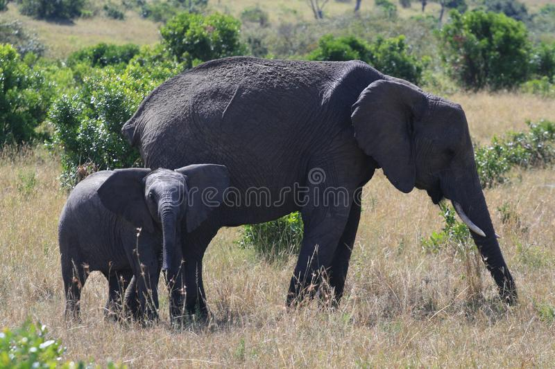 African elephant, Loxodonta africana, cow with young calf, Massai Mara Park, Kenya, Africa. African elephant, Loxodonta africana, cow with young calf, Massai stock photos