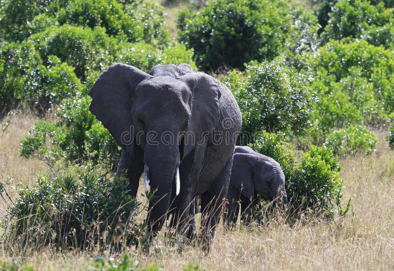 African elephant, Loxodonta africana, cow with young calf, Massai Mara Park, Kenya, Africa. African elephant, Loxodonta africana, cow with young calf, Massai royalty free stock photography