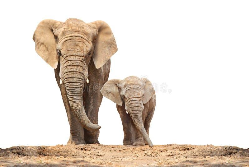 African elephant - Loxodonta africana family. African elephant - Loxodonta africana family on a white background royalty free stock photo