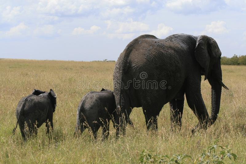 African elephant, Loxodonta africana, family grazing in savannah in sunny day. Massai Mara Park, Kenya, Africa. African elephant, Loxodonta africana, family royalty free stock photos