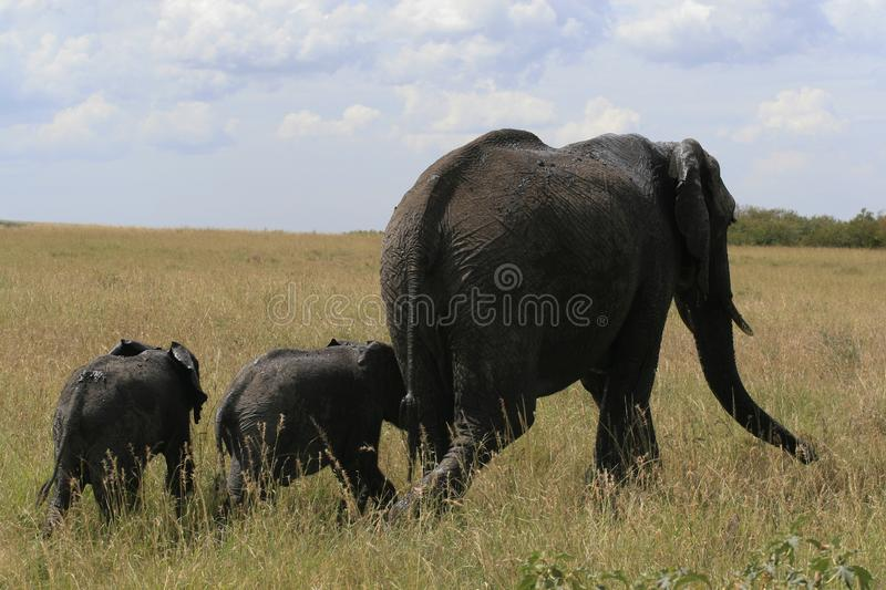 African elephant, Loxodonta africana, family grazing in savannah in sunny day. Massai Mara Park, Kenya, Africa. African elephant, Loxodonta africana, family royalty free stock photo