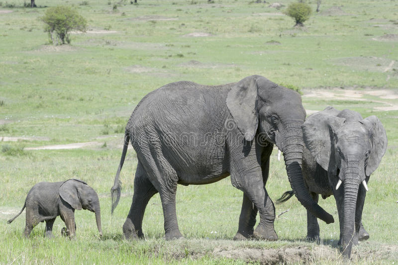 African Elephant (Loxodonta africana) family. Standing together with a small baby behind at a waterhole, Serengeti national park, Tanzania stock photo