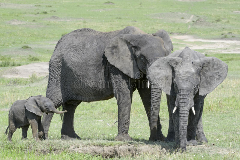 African Elephant (Loxodonta africana) family. Standing together with a small baby behind at a waterhole, Serengeti national park, Tanzania royalty free stock photography