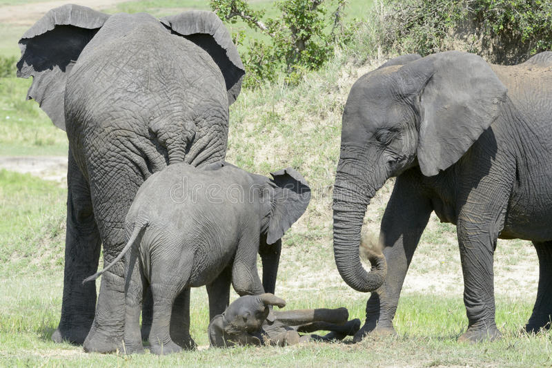 African Elephant (Loxodonta africana) family. Standing together with a small baby lying in between at a waterhole, Serengeti national park, Tanzania royalty free stock images