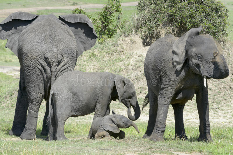 African Elephant (Loxodonta africana) family. Standing together with a small baby lying in between at a waterhole, Serengeti national park, Tanzania stock image
