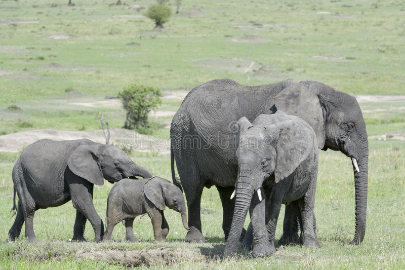 African Elephant (Loxodonta africana) family. Standing together with a small baby at a waterhole in the savanna, Serengeti national park, Tanzania stock photo