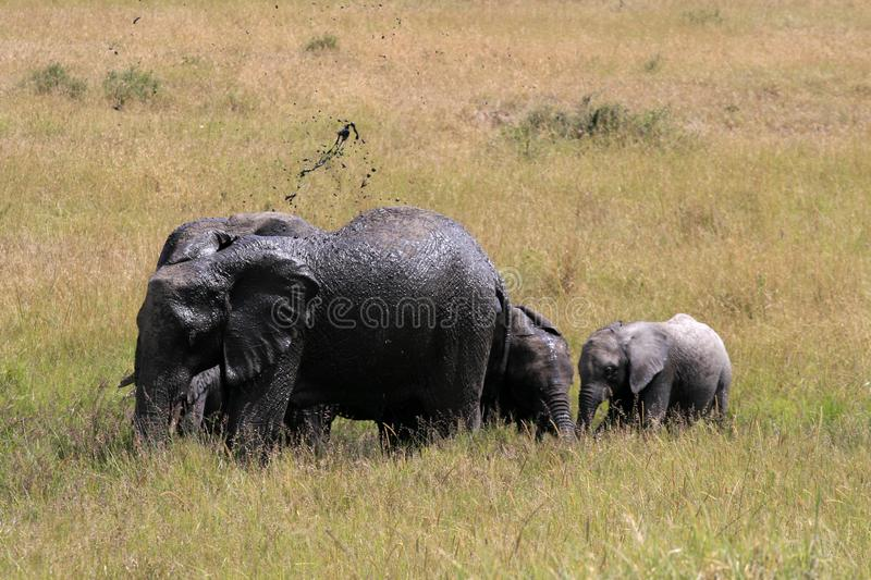 African elephant, Loxodonta africana, family take mud baths in sunny day. Massai Mara Park, Kenya, Africa. African elephant, Loxodonta africana, family take mud royalty free stock images