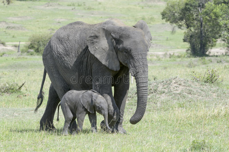 African Elephant (Loxodonta africana) family. African Elephant (Loxodonta africana) walking on the savanna together with a small baby, Serengeti national park stock photo