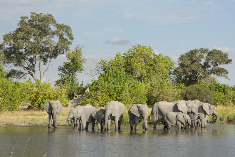 African Elephant (Loxodonta africana) herd drinking at water's e. African Elephant herd drinking at water's edge in South Africa royalty free stock image