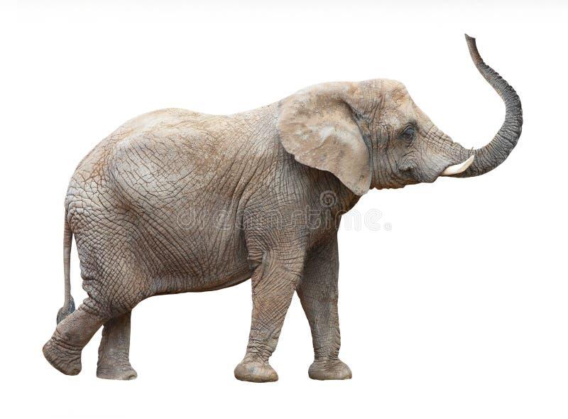 African elephant (Loxodonta africana). African elephant (Loxodonta africana) on a white background royalty free stock photos