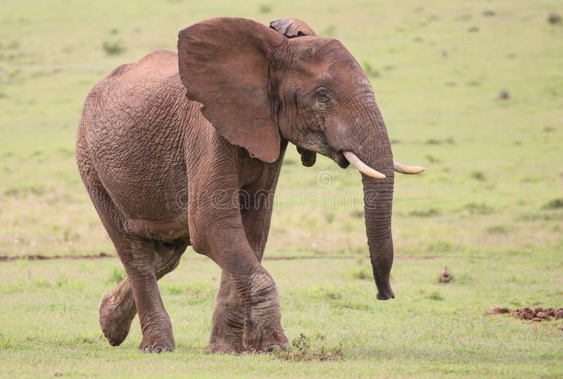 African Elephant Male stock image