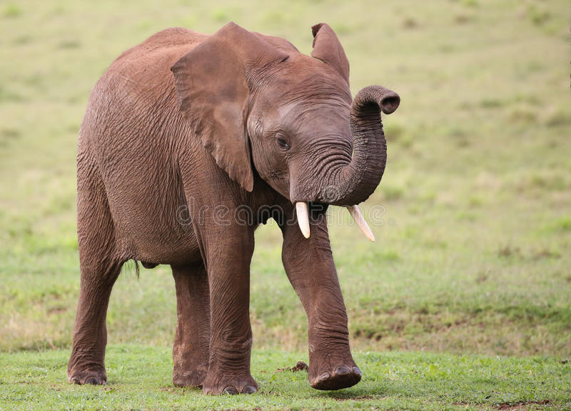 African Elephant Male royalty free stock photo