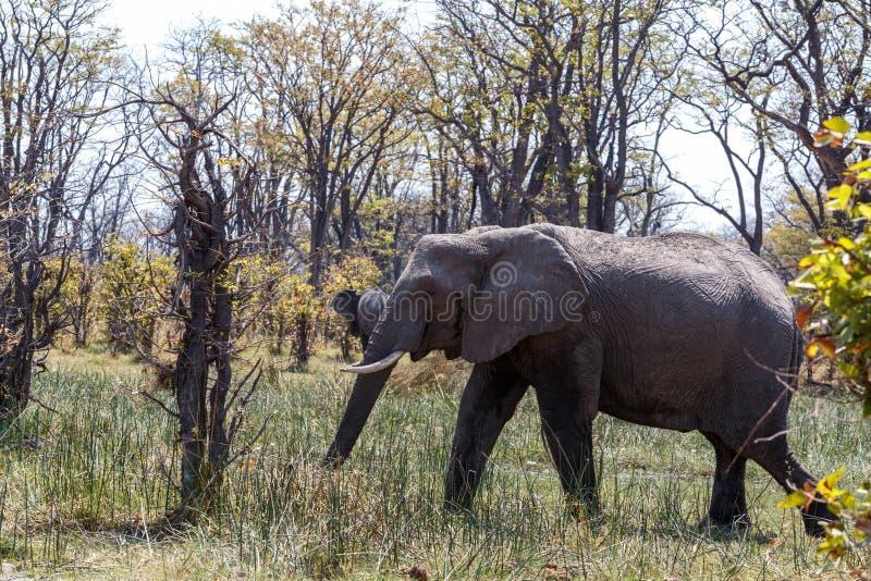 African Elephant Moremi Game reserve, Okawango Delta. Wild African Elephant Moremi Game reserve, Okawango Delta, Botswana stock photography
