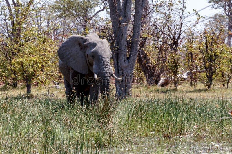 African Elephant Moremi Game reserve, Okawango Delta. Wild African Elephant Moremi Game reserve, Okawango Delta, Botswana royalty free stock photography