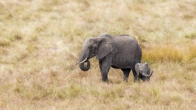 African elephant mother and baby stock photo