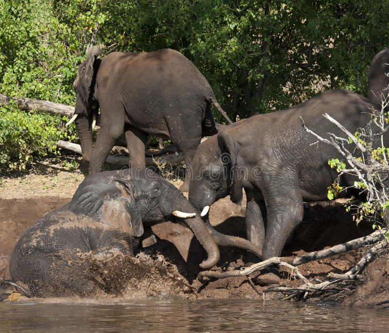Download African Elephant Mud Bath - Botswana Stock Image - Image: 21974175